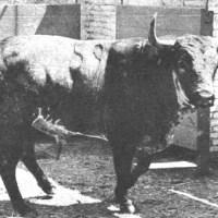 """""""Potrico"""", de la ganadería de los señores hijos dePablo Romero, indultado en la Monumental de Barcelona en 1968"""