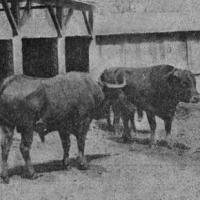 1905:toros mexicanos de San Nicolás con una leña inusual actualmente